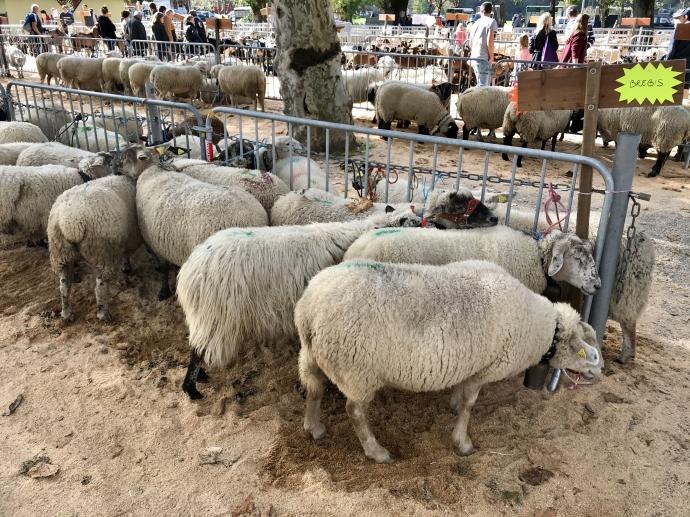 thones,mouton,chevre,agriculture,